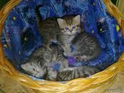 Россия, Самара.  Продаются котята британской короткошерстной породы.