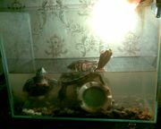 продам недорого парочку красноухих черепах