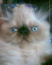 Персидские котята, пушистые