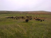 Продам стадо  овец  разных пород