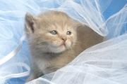 Британские короткошёрстные котята от питомника