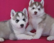 Сибирский хаски щенки для принятия