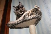 Котята мейн-куны. Мальчики и девочки. Доставка