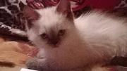 котята британской плюшевой