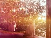 Сиамские котятки
