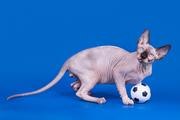 Сказочные котята канадский сфинкс.