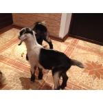 продаю альпийских козлят