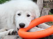 Овчарки! Мареммо-абруцкая овчарка,  щенки.