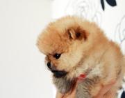 Породистые щенки миниатюрного померанского шпица