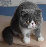 Экзотические короткошерстные котята питомника