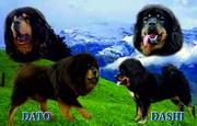 Предлагаются к продаже щенки Тибетского мастифа