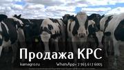Продажа коров дойных,  нетелей молочных пород в Самаре